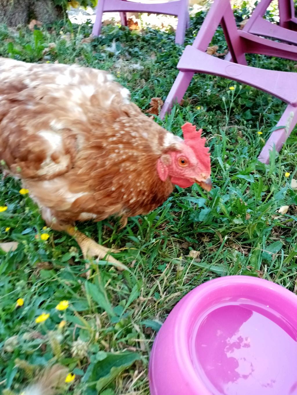 Poule qui ne bouge plu et perd ses plumes Img_2011
