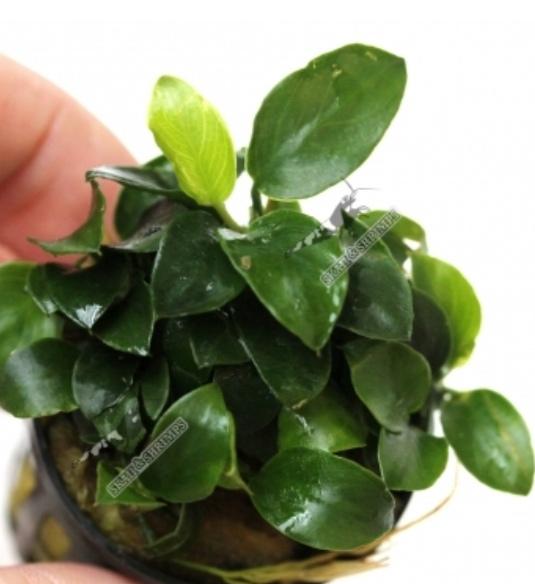 Plantes à feuilles large pour eau froide Screen10