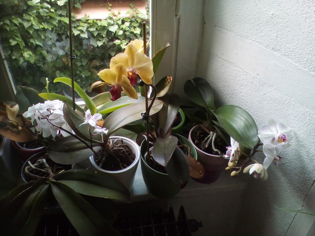 Phalaenopsis hybrides - Page 2 Img_2017
