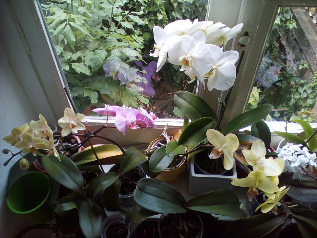Phalaenopsis hybrides - Page 2 Img_2018