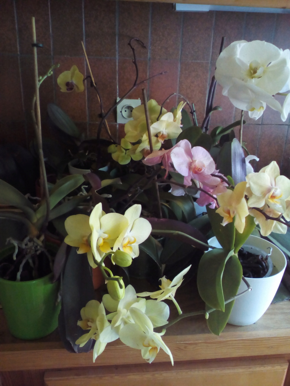 Phalaenopsis hybrides - Page 2 Img_2028