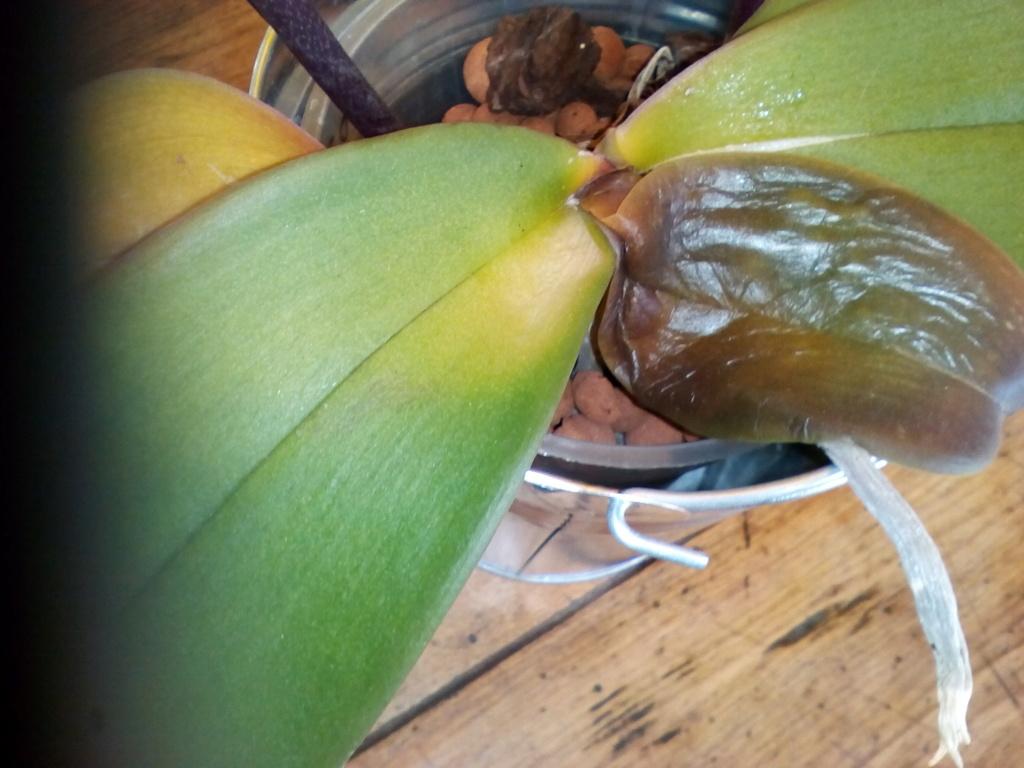 Phalaenopsis pourrit Img_2031