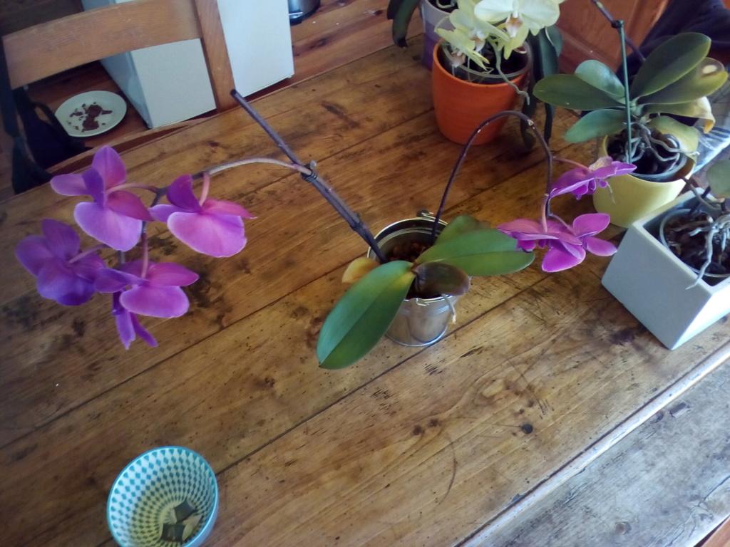 Phalaenopsis pourrit Img_2032