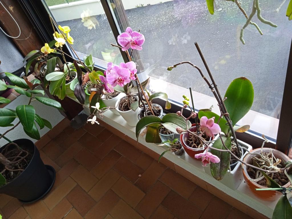 Phalaenopsis hybrides - Page 3 Img_2057