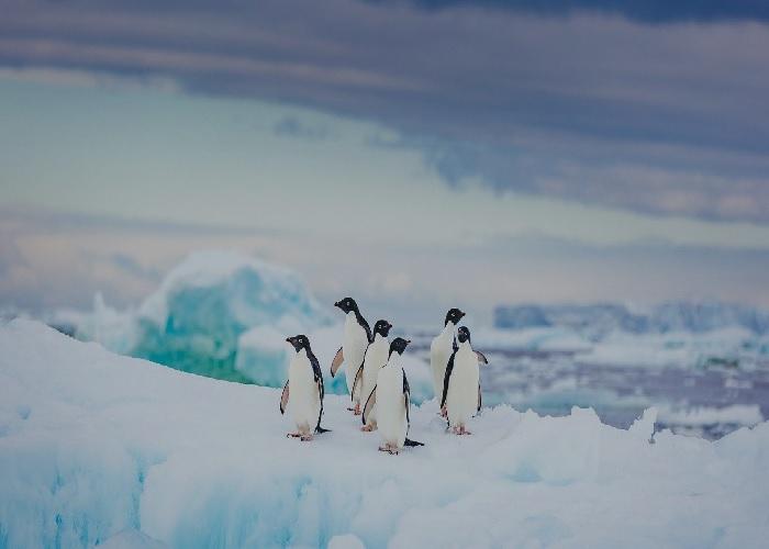 Ved du hvad disse sjove pingviner hedder? Adelie10