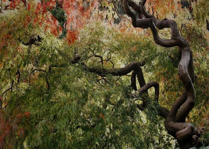 Kan du gætte hvad dette er for et træ? Japans11