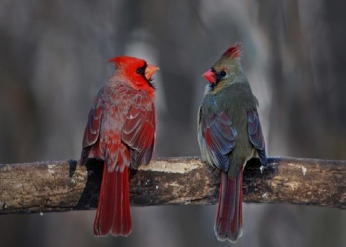 Kardinal fugle! Kardin10