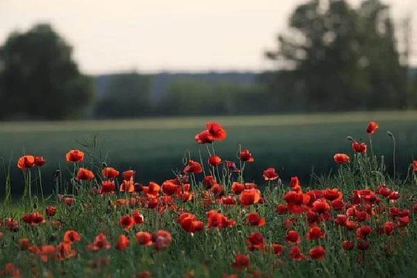 Røde blomster! Rzde_b10