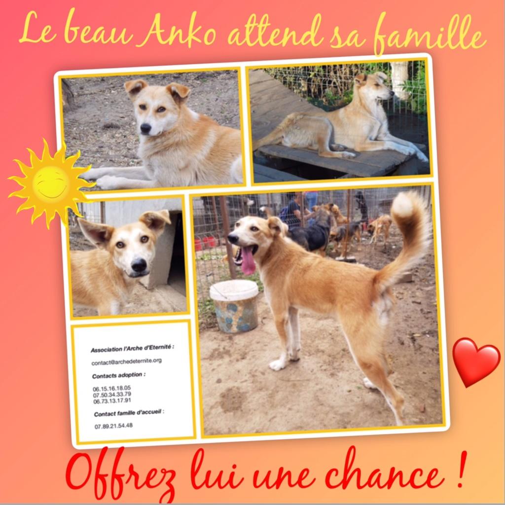 ANKO mâle, couleur crème, né en sept 2016 (chiot d'AKELA) - Famille trouvée par Lenuta dans un champ - parrainé par Mirko78 -R-SC-SOS 8d925210