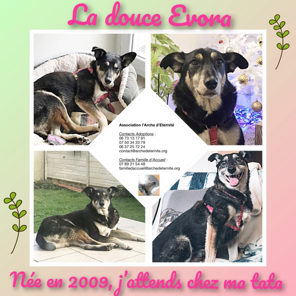 evora - EVORA, croisée berger, née le 01/09/2009 - Trouvée dans la cour d'une entreprise en 2012 - parrainée par Sky 30 - En FA dans le 44 - FB-SOS-SC-R-30MA - Page 5 B47b2a10