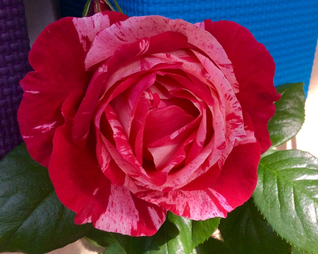 """Rosen - ein Thread für die """"Königin"""" - Seite 13 48155a10"""
