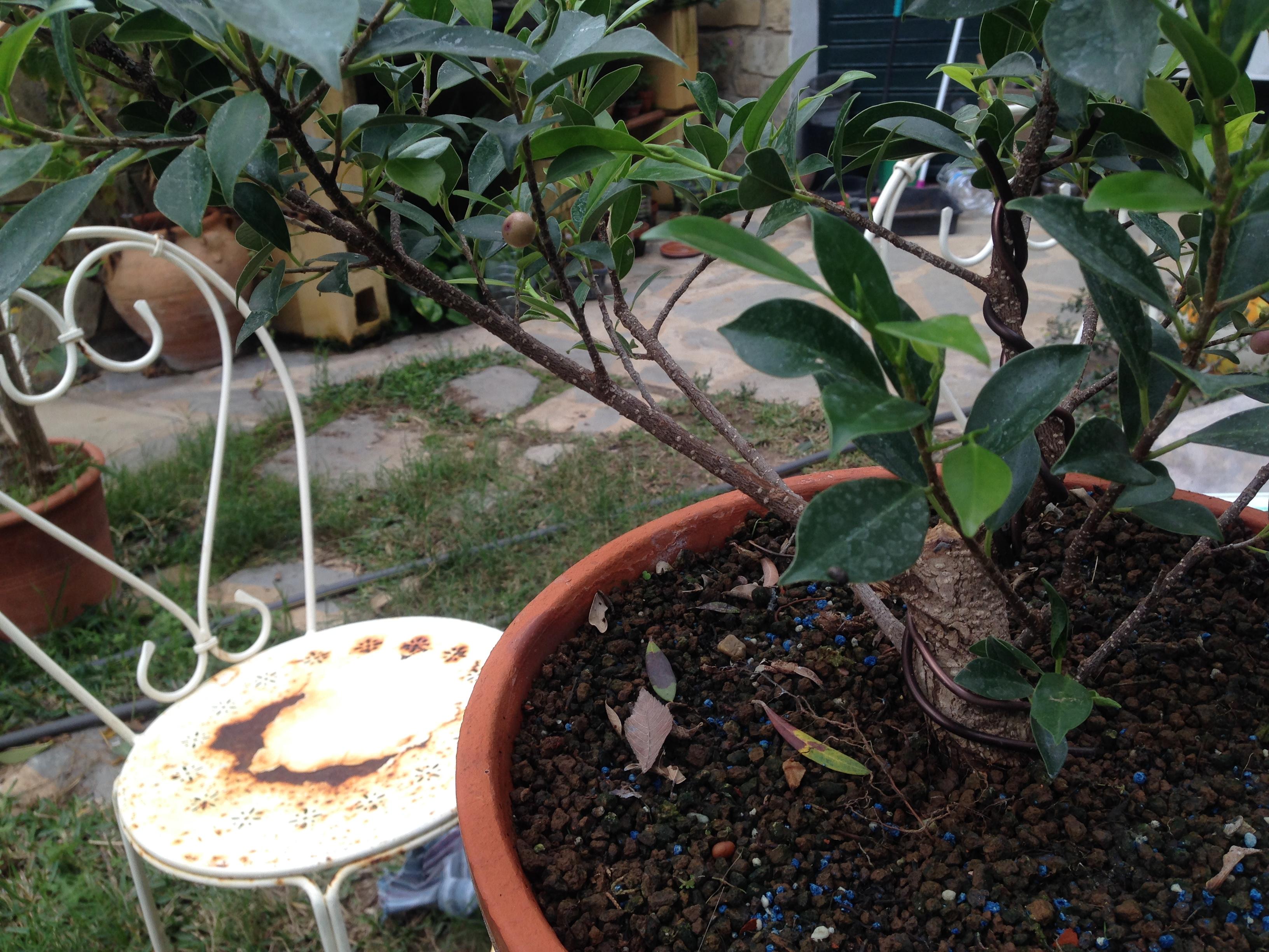 Ficus Retusa Microcarpa, ficus tiger bark Img_5510