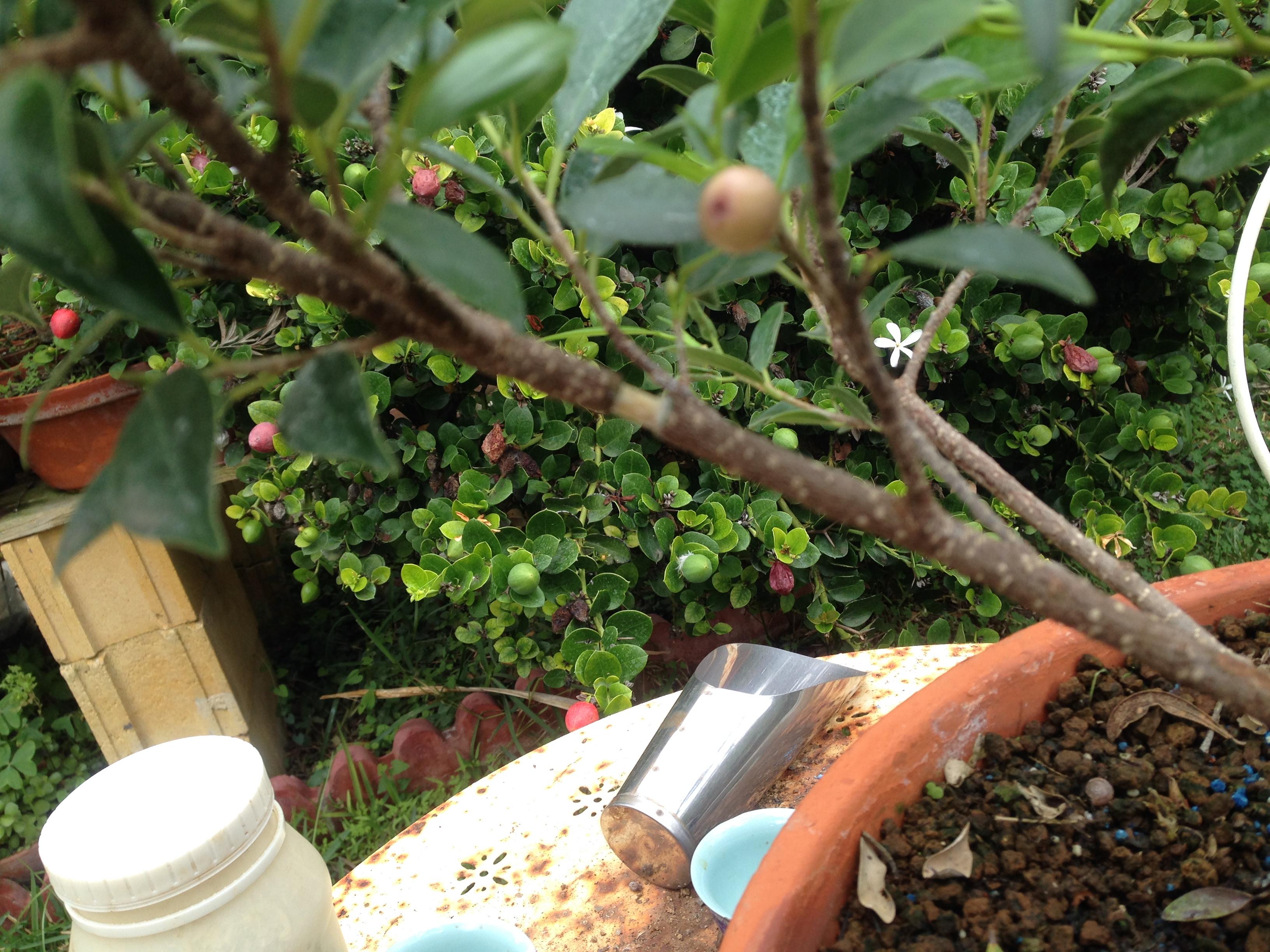 Ficus Retusa Microcarpa, ficus tiger bark Img_5512