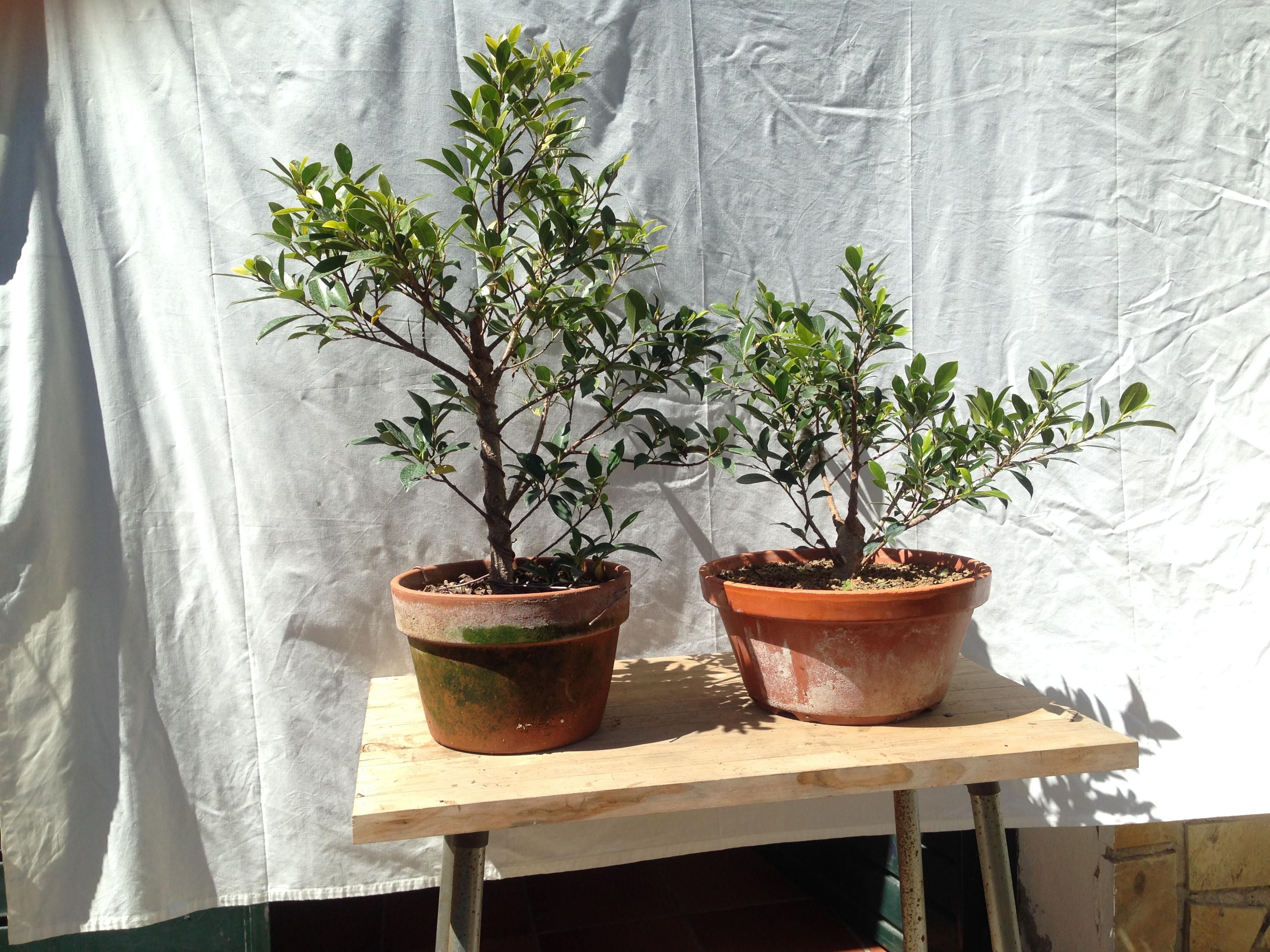 Ficus Retusa Microcarpa, ficus tiger bark Img_7110