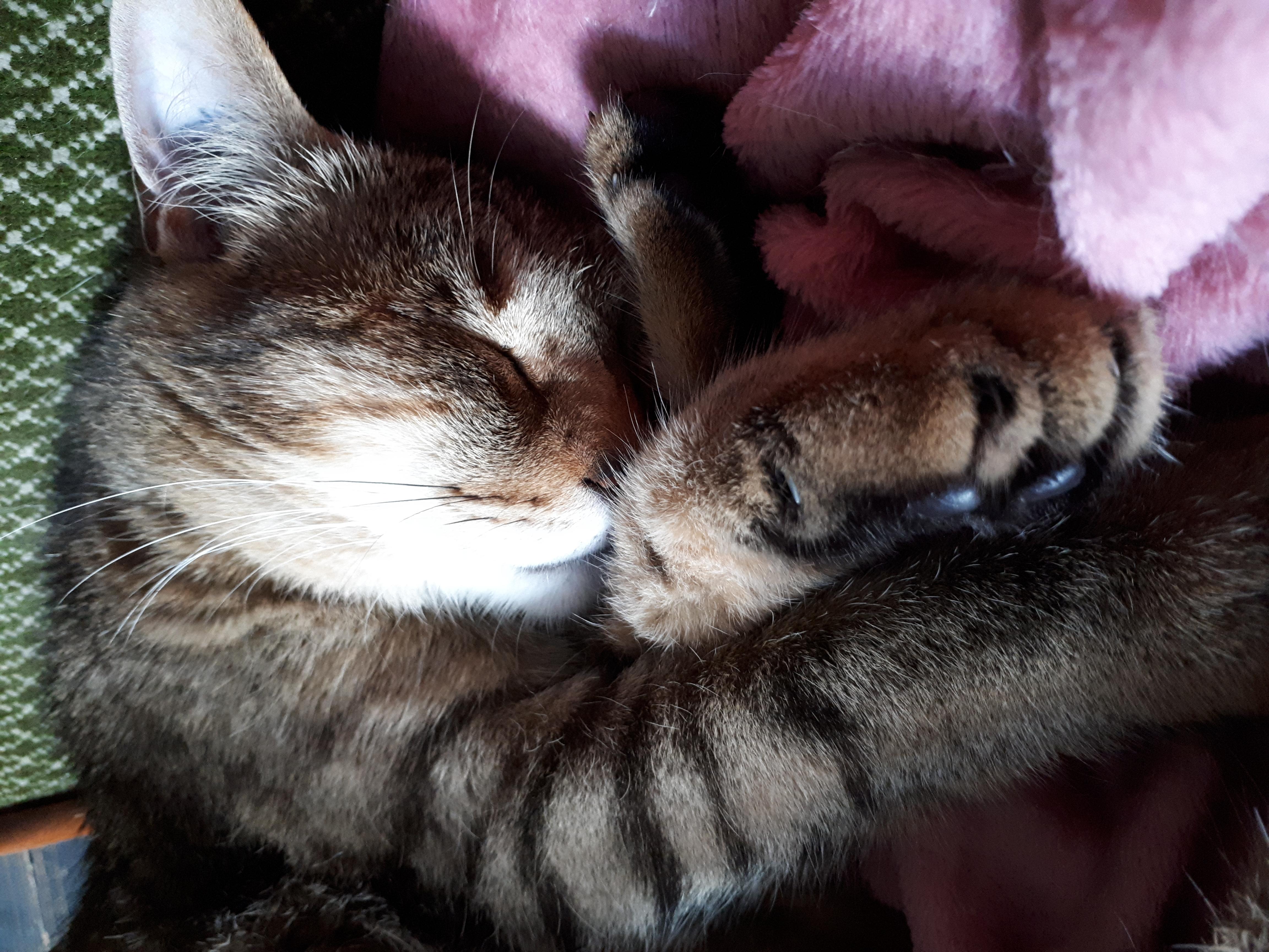 Iglesias ,mâle tigré né le 15/04/2013 20180611