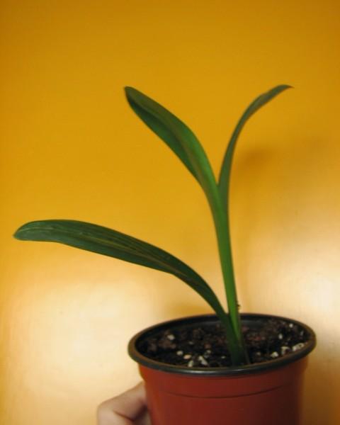Amaryllisgewächse - Amaryllidaceae (Hippeastren, Nerine, Amaryllis, Agapanthus und auch Allium & Narzissen) - Seite 73 Img_3511