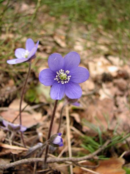 Erste Frühlingsboten im Garten und in Wald und Flur - Seite 95 Img_3514