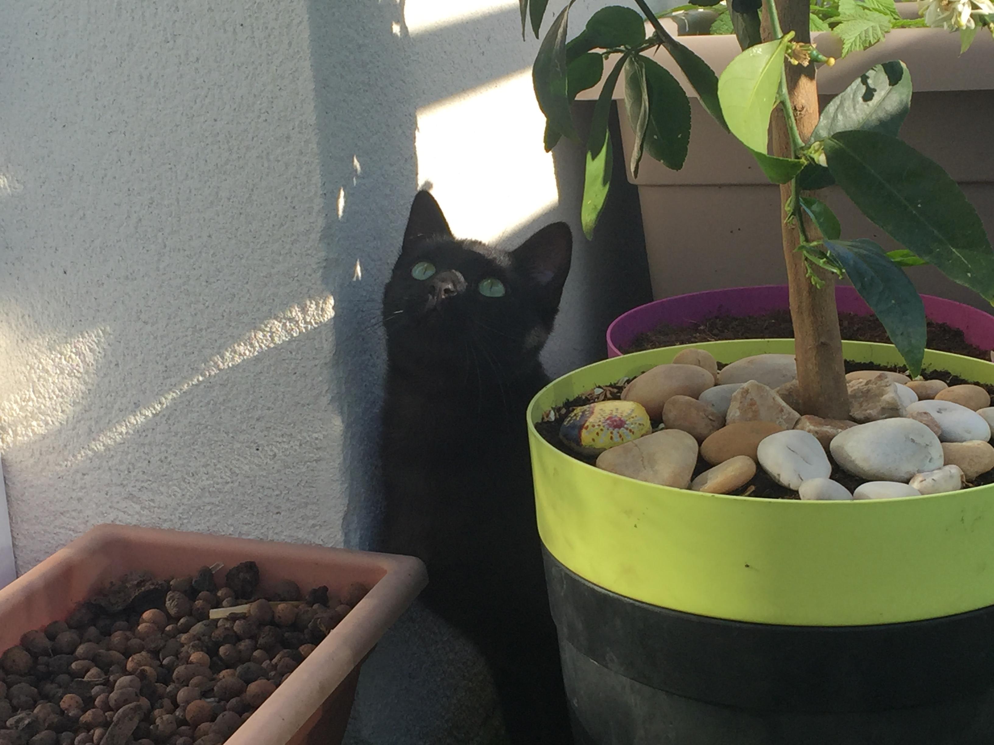 NYSSA, chatonne noire, née le 25/05/17 2018-010