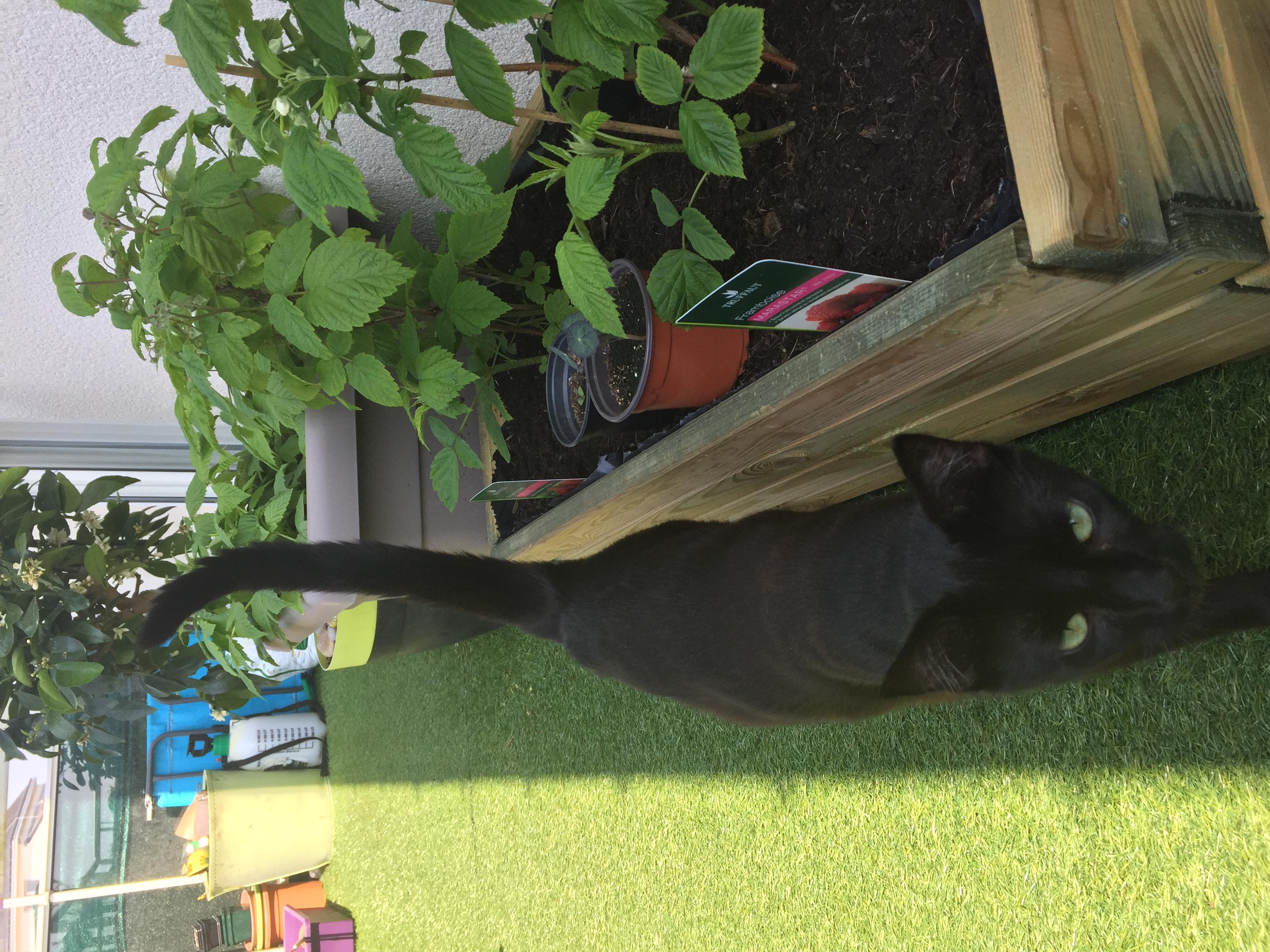 NYSSA, chatonne noire, née le 25/05/17 2018-011