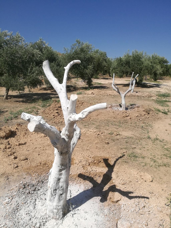 Trasplante de olivos (Valencia) Olivo_10