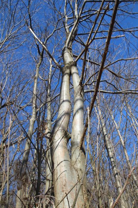 """Un arbre """"double"""" pour une pergolas Img_3416"""