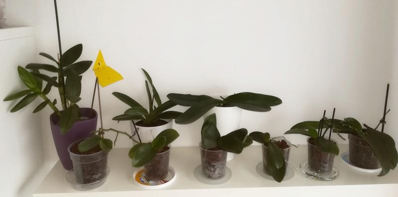 Orchideen wirft nach Tauchung Blüten ab.... Fach110
