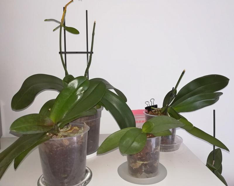 Orchideen wirft nach Tauchung Blüten ab.... Fach210