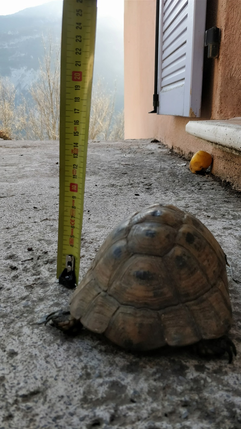 Identification tortue Tortue13