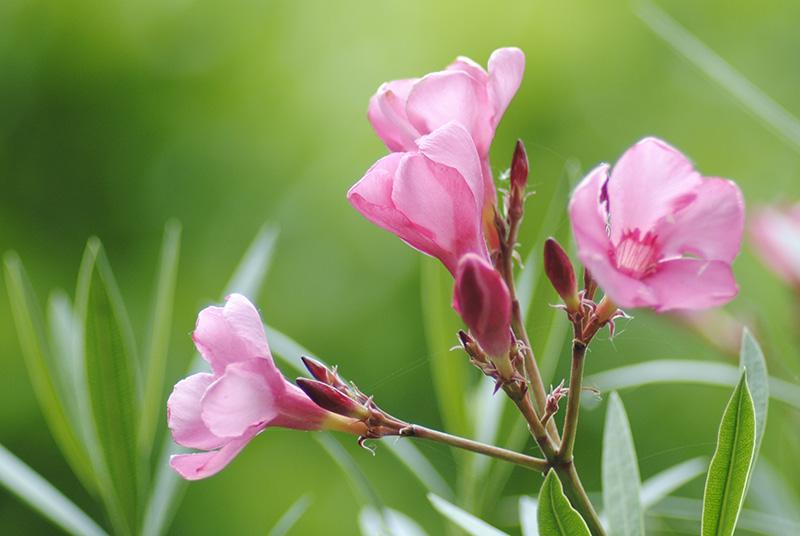Nerium oleander - laurier rose - Page 4 211