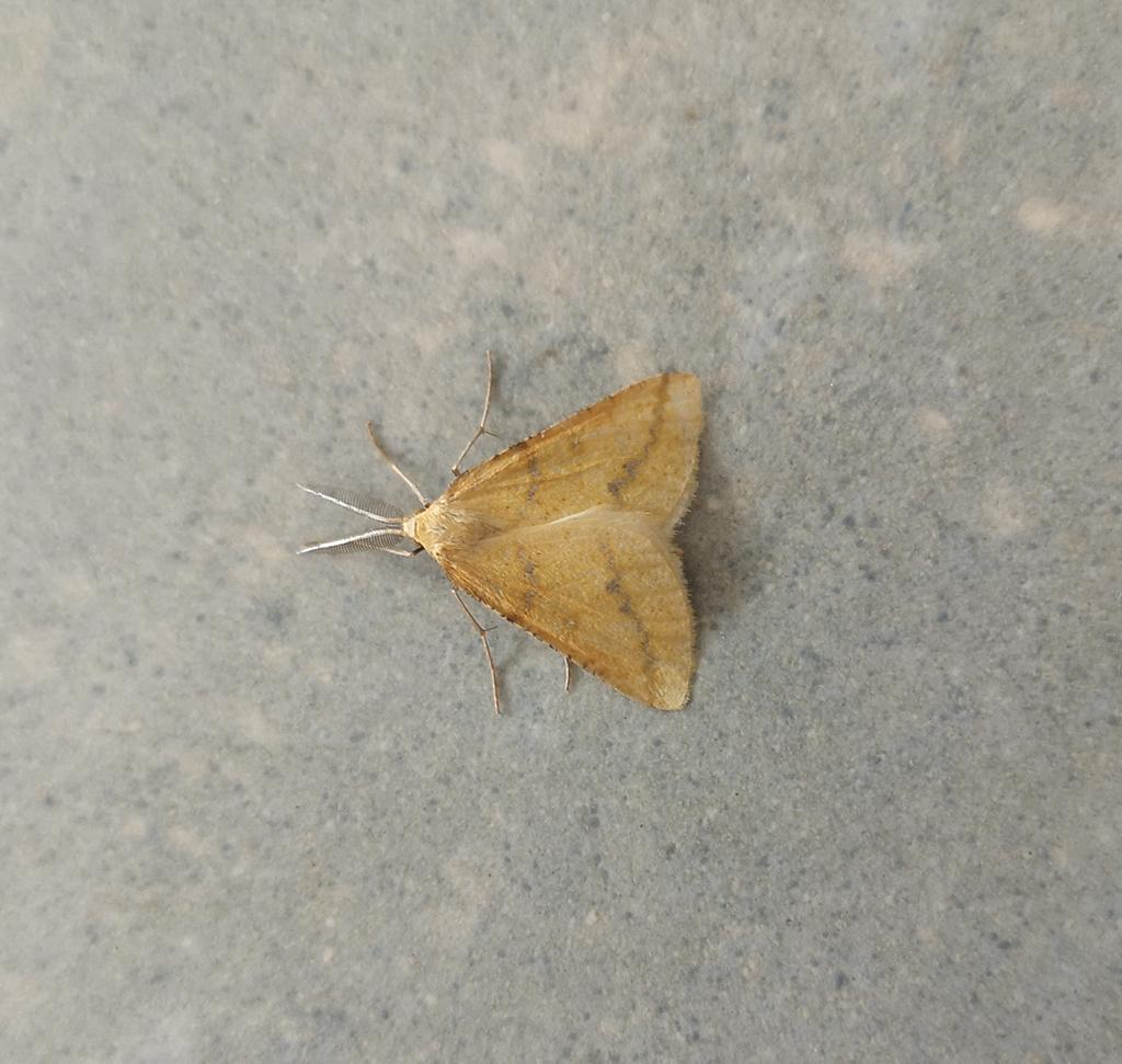 Identification papillon Img10