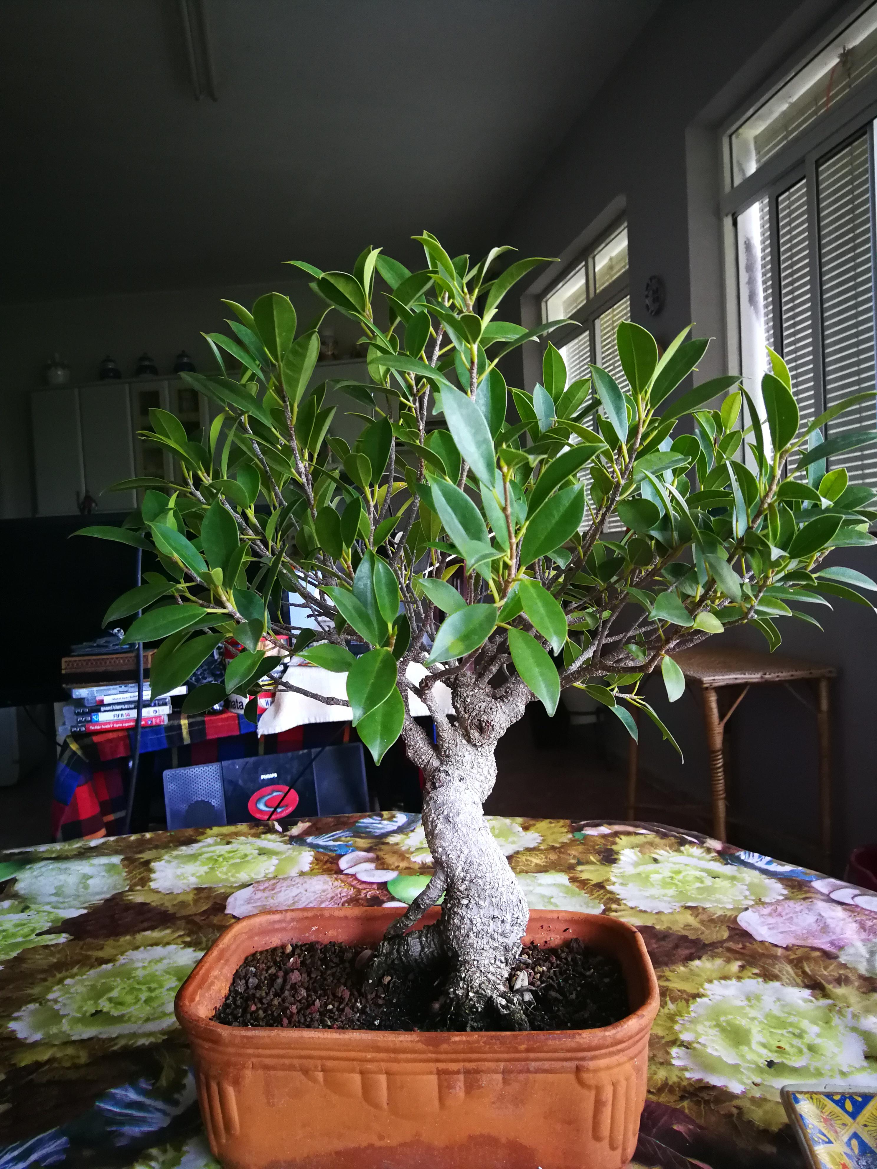 Evolución de Ficus retusa opiniones  - Página 2 Img_2014