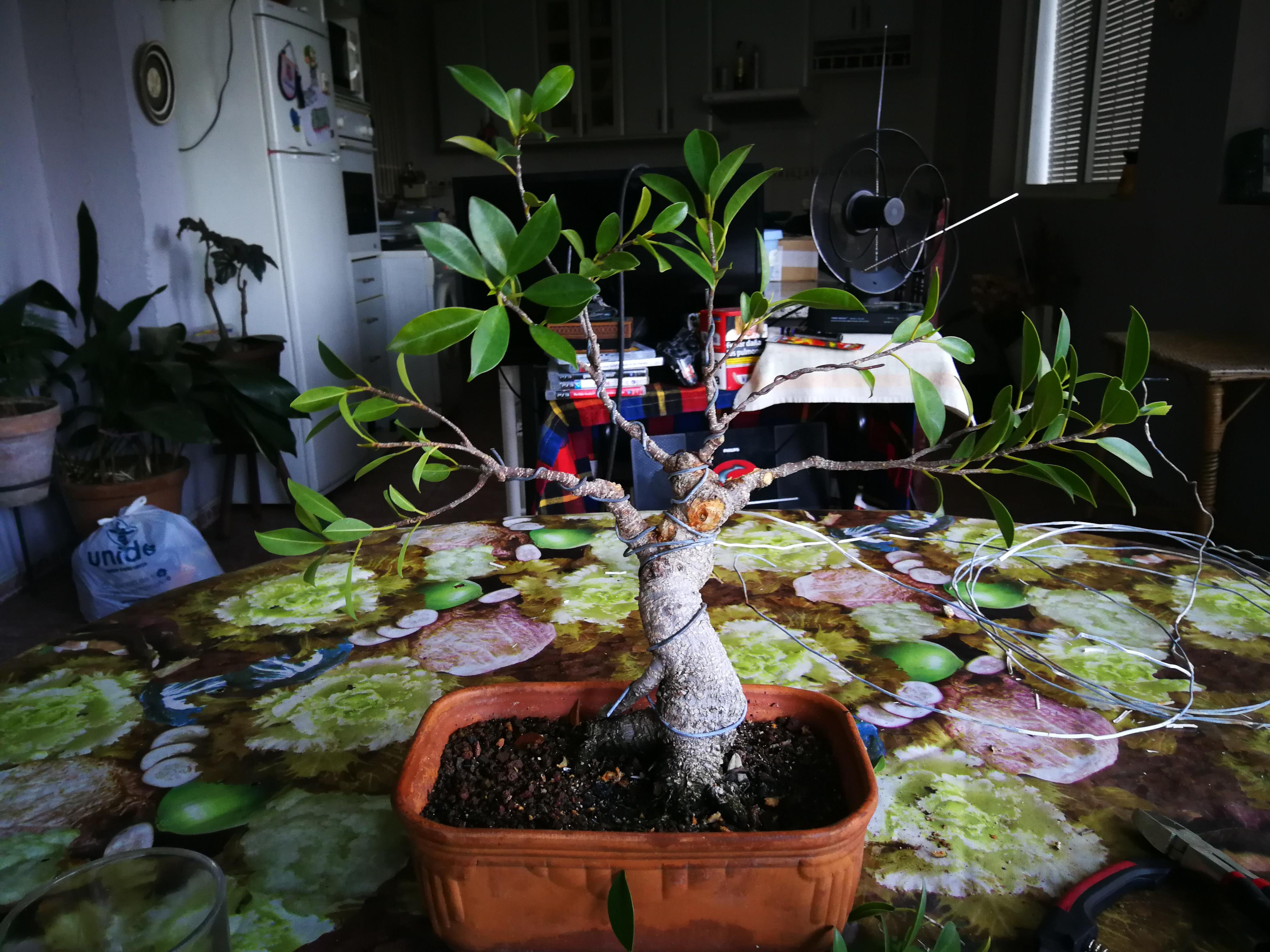 Evolución de Ficus retusa opiniones  Img_2015