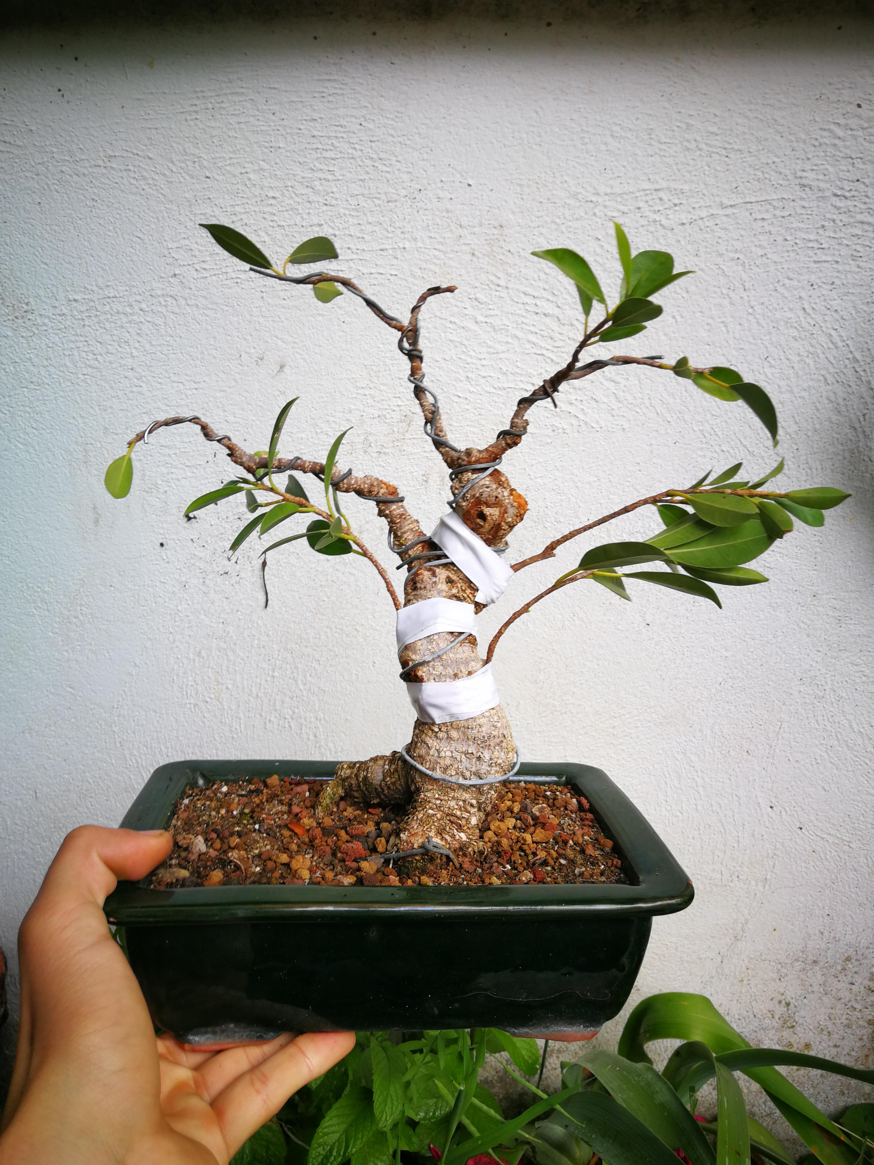 Evolución de Ficus retusa opiniones  Img_2016