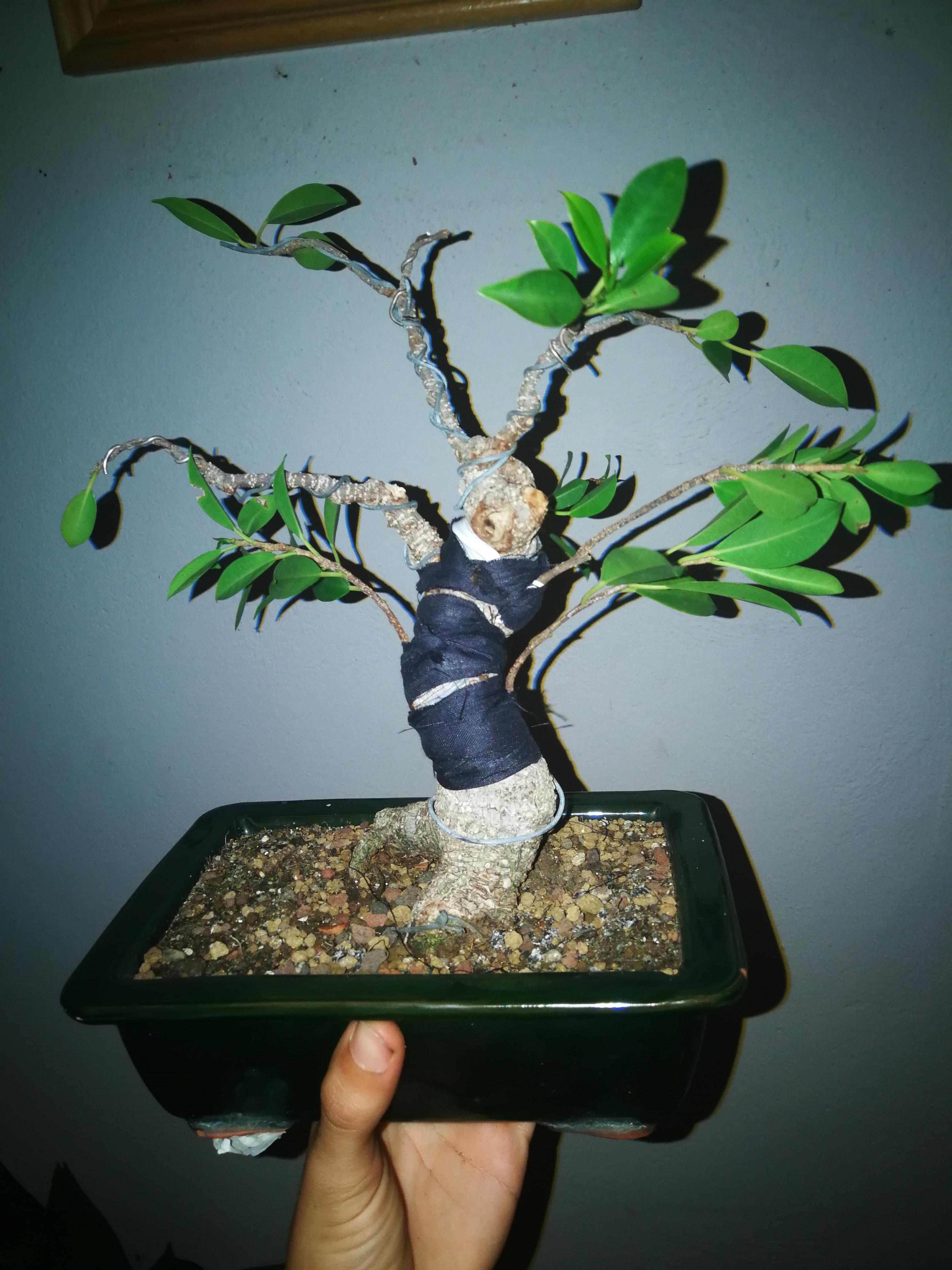 Evolución de Ficus retusa opiniones  Img_2017