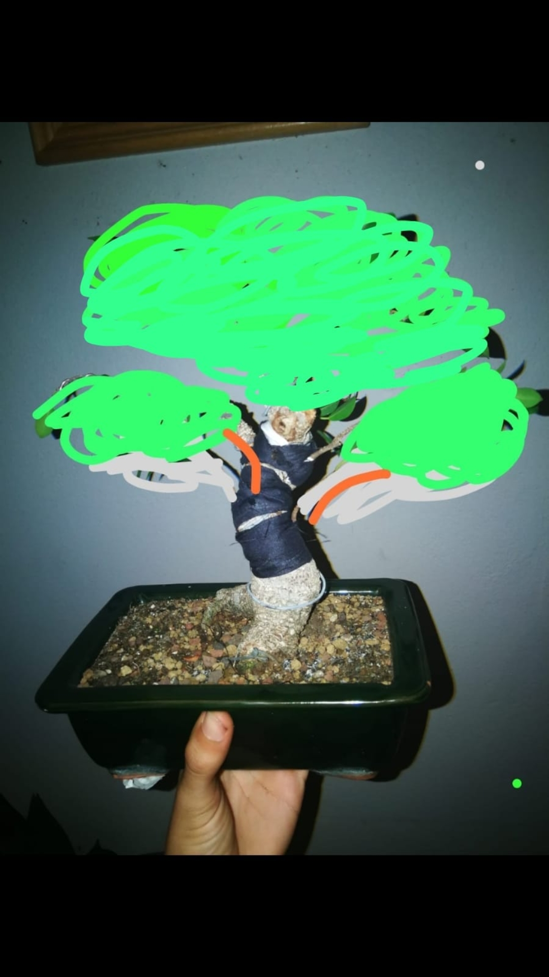 Evolución de Ficus retusa opiniones  Screen12
