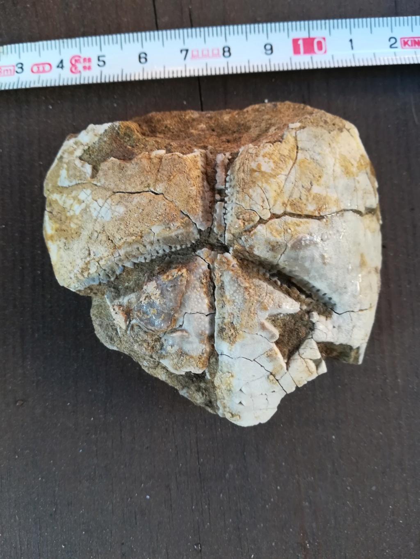 Brissopsis 910