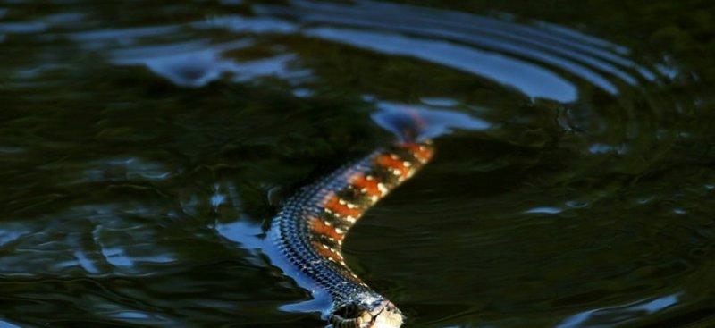 En Floride, une ville ferme un coin de son parc pour laisser les serpents s'accoupler 1serpe10