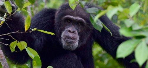Chez les chimpanzés, la diversité culturelle aussi est victime des humains 661-af11