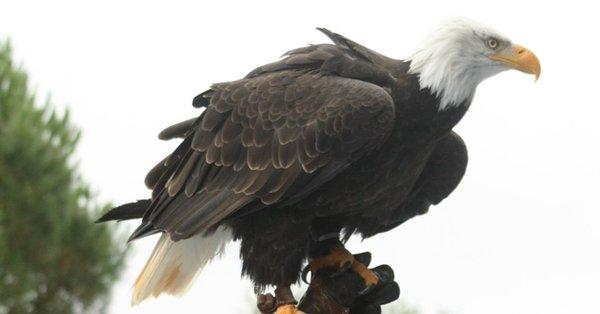 Finistère : un aigle s'échappe en pleine représentation Aigle10