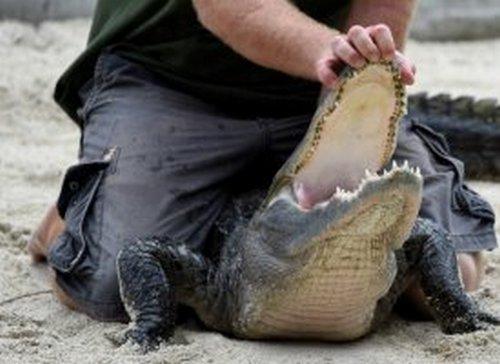Deux hommes arrêtés en Floride après avoir fait boire de la bière à un alligator. Alliga10