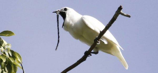 L'oiseau le plus bruyant du monde crie pour trouver l'amour Oiseau10