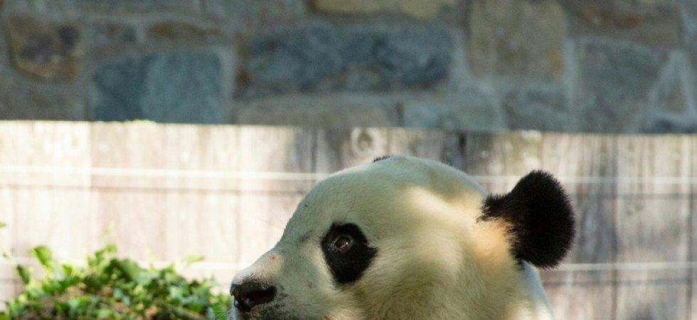 Etats-Unis: Bei Bei, le panda géant, fête ses quatre ans. Panda10