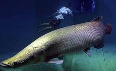 la survie miraculeuse du pirarucu, poisson géant d'Amazonie Piracu10