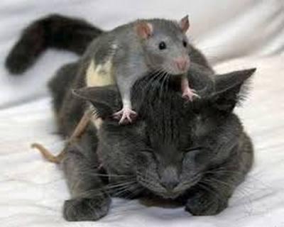 Les pièges à glus. Rat10