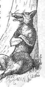 Bretagne: un renard tué par des poules dans un poulailler. Renard10