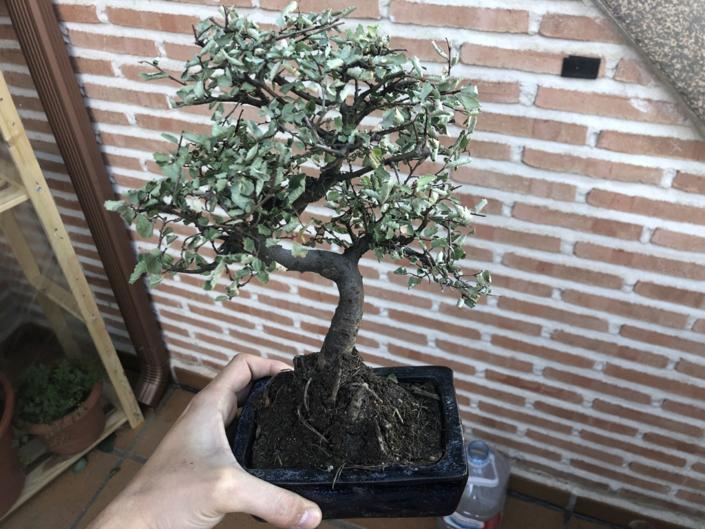 Problema Zelkova parvifolia  46738010
