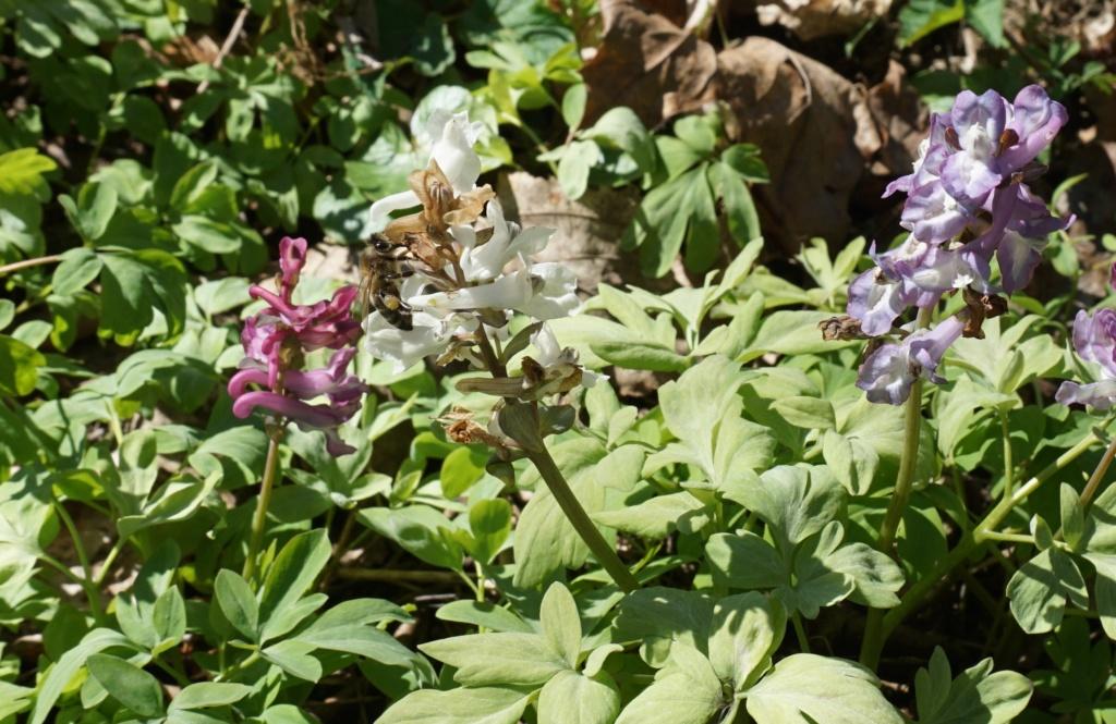 Erste Frühlingsboten im Garten und in Wald und Flur - Seite 92 Dsc09815