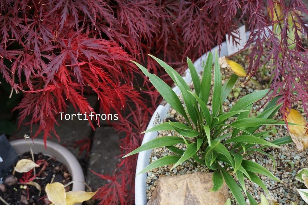 Tummelplatz für Hostaholiker (Hosta - Funkie) - Seite 19 Tortif10