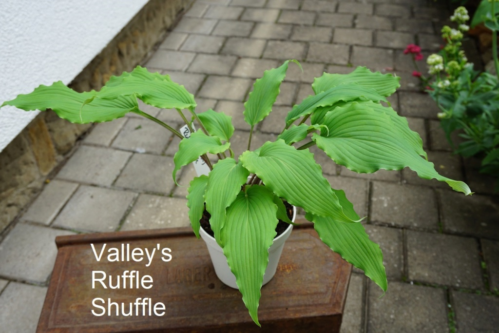 Tummelplatz für Hostaholiker (Hosta - Funkie) - Seite 19 Valley33
