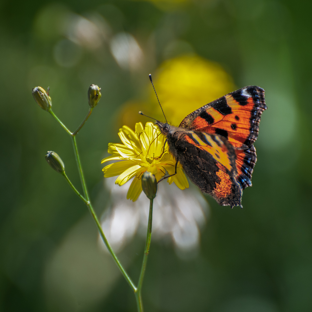 [Macro_et_Proxy] Papillon Boisba11